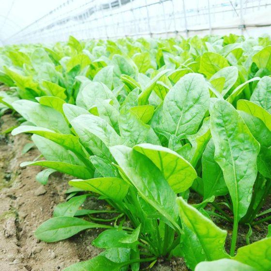 2021秋作、ホウレンソウの収穫が始まりました。
