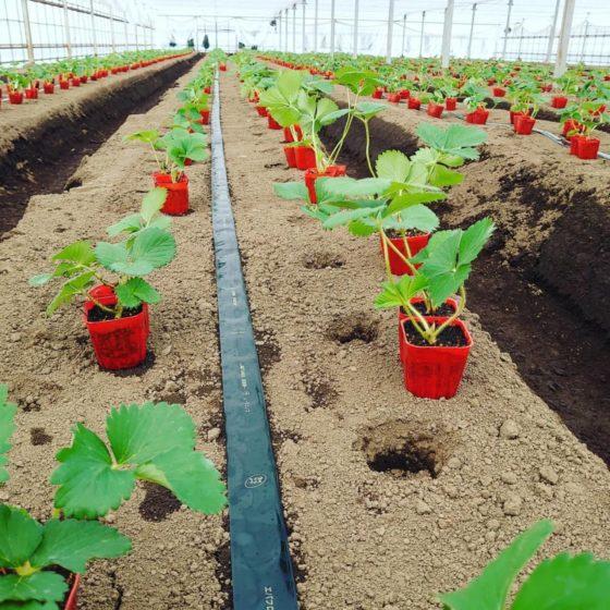イチゴ栽培始めました。